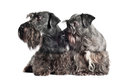 Two cesky terrier dogs together Stock Image