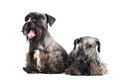 Two cesky terrier dogs together Royalty Free Stock Images