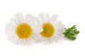 Two chamomile or daisies with leaves isolated on white background Royalty Free Stock Photo