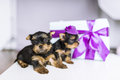 Two charming Yorkshire terrier and gift box with bow. Royalty Free Stock Photo
