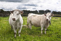 Two Charolais cattles Stock Photos