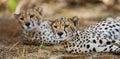 Two cheetah lying in the savanna. Kenya. Tanzania. Africa. National Park. Serengeti. Maasai Mara. Royalty Free Stock Photo