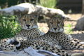 Two cheetahs Stock Photo