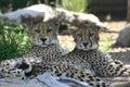 Two cheetahs Royalty Free Stock Photo
