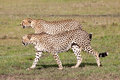 Two Cheetahs hunting Royalty Free Stock Photo