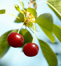 Two Cherries on the Tree. Royalty Free Stock Image