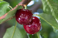 Two cherry berries with water drops Royalty Free Stock Photo