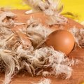 Two chicken eggs with a brown shell on which feathers fall Royalty Free Stock Photo