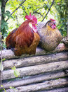 Two chicken at a fence Royalty Free Stock Photo