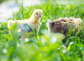 Two chicken in the grass Royalty Free Stock Photo