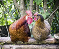 Two chicken sitting on a fence Royalty Free Stock Images