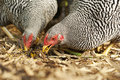 Two chickens eating grain profile of blue heeler puppy looking back Royalty Free Stock Photo