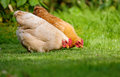 Two chickens in green grass close up image of well fed hens pecking lush Stock Photos