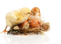 Two chickens little in a nest isolated on white background Royalty Free Stock Photos