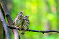 Two chicks on a branch in  forest Royalty Free Stock Photo