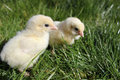 Two chicks close up landscape Royalty Free Stock Photography