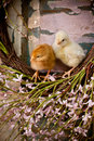 Two chicks on easter wreath Royalty Free Stock Image
