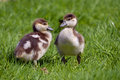 Two chicks of egyptian geese closeup alopochen aegyptiacus on grass Stock Photography