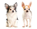 Two Chihuahua long-haired and short-haired Stock Image