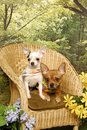 Two chihuahua puppies in a Garden Chair Royalty Free Stock Photos