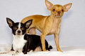 Two chihuahuas in studio Royalty Free Stock Photos