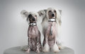 Two chinese crested dogs with silver collars sitting on a sofa and wearing Royalty Free Stock Images