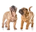 Two chinese shar pei puppies isolated on white background months old Royalty Free Stock Photos