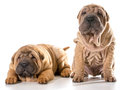 Two chinese shar pei puppies isolated on white background months old Royalty Free Stock Photography