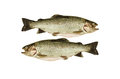 Two cleaned trout on white background ready to cooking Royalty Free Stock Images