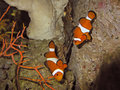 Two clown fishes Royalty Free Stock Photo
