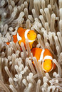 Two clownfish a pair of clown anemonefish amphiprion percula swimming among the tentacles of their sea anemone uepi solomon Stock Photo