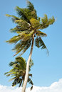 Two coconut trees Royalty Free Stock Photography