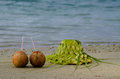 Two coconuts and sun hat on the sandy sea shore knees out of palm leaves of tropical island Royalty Free Stock Images