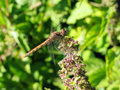 Two-colored dragon-fly on the flower Royalty Free Stock Photo