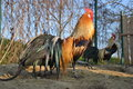 Two colorful roosters Phoenix on a traditional farm