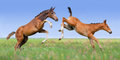 Two colts play on pasture Royalty Free Stock Photo
