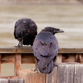 Two common ravens corvus corax interacting pair of interact perched on wooden structure Stock Image