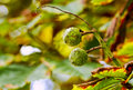 Two conkers on a branch Royalty Free Stock Photo