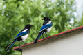 Two conspirators on the roof. Pica pica. Royalty Free Stock Photo
