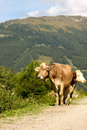 Two cows in the alps Royalty Free Stock Photography