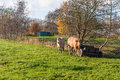 Two cows in autumn Stock Photo