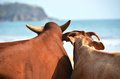 Two cows on  a beach of Goa, India Royalty Free Stock Photo