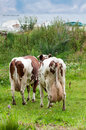 Two cows with a large udder rear view Royalty Free Stock Image