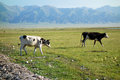 Two cows located in salimu lake xinjiang china Stock Image
