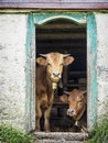Two cows at an old stable Royalty Free Stock Photo