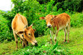 Two cows on pasture eating grass in norther of thailand Stock Images