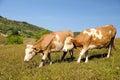 Dvě krávy v letní zemi