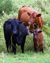 Two cows and two calves one hiding behind mom in a grazing pasture at hana ranch maui hawaii Stock Photos