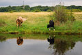 Two cows by water. Baltic spit, Baltiysk, Russia Royalty Free Stock Photo