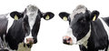 Two cows on a white background Royalty Free Stock Photo